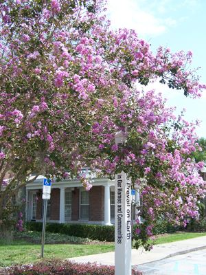 A large crape myrtle tree.